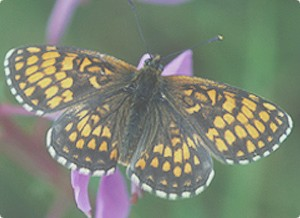 Butterfly_Heath-Fritillary-by-Jim-Ash1
