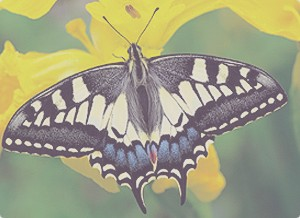 Butterfly_Swallowtail-by-Jim-Asher1