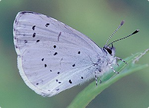 Butterfly_Holly-Blue-by-Robert-Thomps1